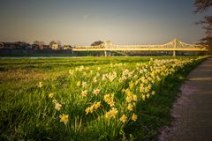 Daffodils along the walkway at Tenshochi Park,Kitakami,Iwate,Tohoku,Japan in spring.with Sangobashi Bridge in the distance. Tenshochi is located by the serene stock photo