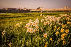 Daffodils along the walkway at Tenshochi Park,Kitakami,Iwate,Tohoku,Japan in spring.with Sangobashi Bridge in the distance. Tenshochi is located by the serene royalty free stock images