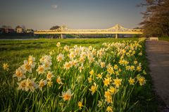 Daffodils along the walkway at Tenshochi Park,Kitakami,Iwate,Tohoku,Japan in spring.with Sangobashi Bridge in the distance. Tenshochi is located by the serene royalty free stock image
