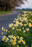 Daffodils along the walkway at Tenshochi Park,Kitakami,Iwate,Tohoku,Japan in spring.selective focus. Tenshochi is located by the serene Kitakami River. It's stock photos