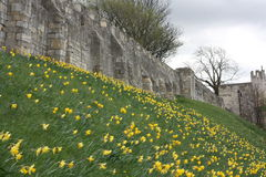 York City Walls in Spring UK. Photograph of York City Walls in springtime with many daffodil flowers in full bloom at the side adn down the grass bank Royalty Free Stock Photography