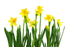 Daffodils amarelos Imagem de Stock Royalty Free