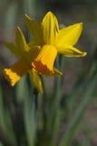 Daffodils amarelos fotografia de stock