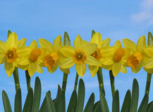 Daffodils amarelos com céu azul Imagem de Stock Royalty Free