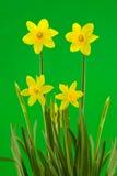 Daffodils amarelos da mola no fundo verde Foto de Stock Royalty Free