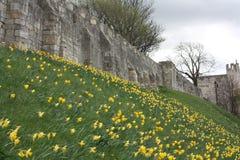 Daffodils ao lado das paredes da cidade de York Fotografia de Stock Royalty Free