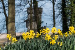 Daffodils at Appley Tower Ryde. Selective focus daffodils with a backdrop of Appley Tower, Ryde, Isle of Wight royalty free stock images