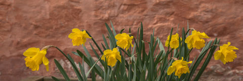 Daffodils in April with brown wall Stock Photos
