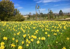 Free Daffodils At Trentham Stock Photography - 143024502