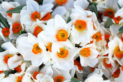 Daffodils background Stock Photography