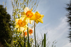 Daffodils backlit Royalty Free Stock Image