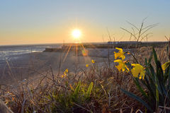 Daffodils at the beach Stock Image