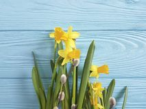 Daffodils beautiful invitation texture elegant on a blue wooden wedding background romantic. Daffodils  a blue wooden background anniversary beautiful romantic Royalty Free Stock Photography