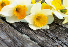 Daffodils Royalty Free Stock Photos