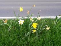 Daffodils bedides droga Zdjęcie Stock