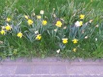 Daffodils bedides droga Obraz Royalty Free