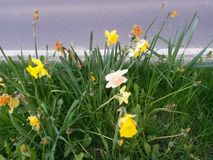 Daffodils bedides droga Fotografia Stock