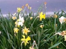Daffodils bedides droga Fotografia Royalty Free