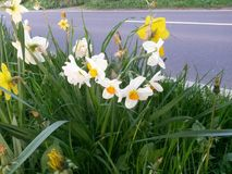 Daffodils bedides droga Zdjęcie Royalty Free