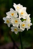daffodils biały Fotografia Stock