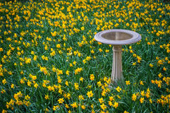Daffodils and Birdbath Royalty Free Stock Photo
