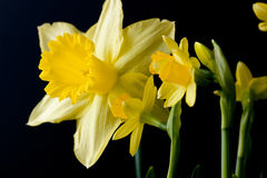 Daffodils on black Stock Photography