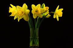Daffodils On Black. A clear vase filled with bright yellow daffodils photographed on a black background Stock Images