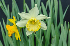 Daffodils on a Black Background Stock Photo