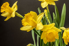 Daffodils on a Black Background Stock Photos
