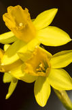 Daffodils on black closeup Royalty Free Stock Image