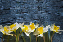 Daffodils on black, Royalty Free Stock Photo