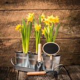 Daffodils and Blank Sign Royalty Free Stock Photo