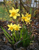 Daffodils in bloom. Six daffodils in full bloom stock image