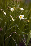 Daffodils bloom. Stock Images