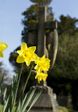 Daffodils in bloom in a graveyard Stock Images