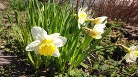 Daffodils bloom in spring. Blooming narcissus. Flowering white daffodils at springtime. Spring flowers. Shallow depth of field. Selective focus stock footage