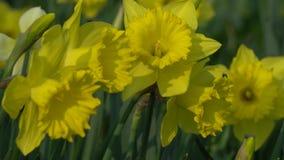 Daffodils bloom in spring. In the garden stock video