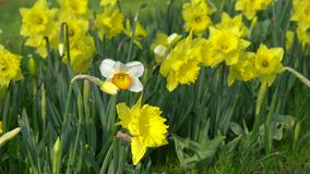 Daffodils bloom in spring. In the garden stock video footage