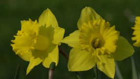 Daffodils bloom in spring. In the garden stock footage