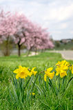 Daffodils with blooming almond trees Royalty Free Stock Images