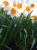 Daffodils blooming in the flowerbed in spring Sunny day Stock Photography