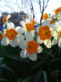 Daffodils blooming in the flowerbed in spring Sunny day Stock Photos