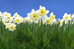Daffodils. Blooming daffodils in a meadow against blue sky royalty free stock photo