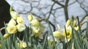 Daffodils in a grave yard in England. Daffodils blowing in the breeze stock footage