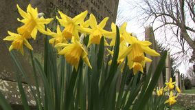 Daffodils in a grave yard in England. Daffodils blowing in the breeze stock video
