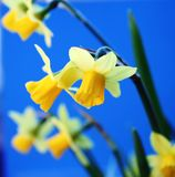 Daffodils on blue background. Close-up royalty free stock image