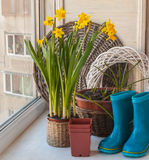 Daffodils  and blue rubber boots Royalty Free Stock Photography