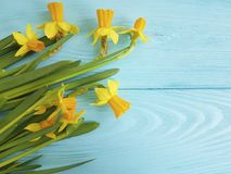 Daffodils beautiful invitation on a rustic blue wooden wedding background romantic. Daffodils on a blue wooden background anniversary beautiful romantic rustic Royalty Free Stock Image