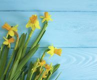 Daffodils beautiful invitation spring on a rustic blue wooden wedding background romantic. Daffodils on a blue wooden background anniversary beautiful romantic Royalty Free Stock Photos
