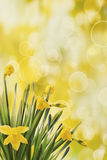 Daffodils with bokeh background Stock Photo